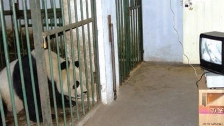 les-pandas-sont-fans-de-porno-panda-1413249867717.jpeg